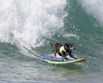surfing dogs costa mesa