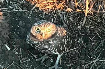 costa mesa burrowing owls